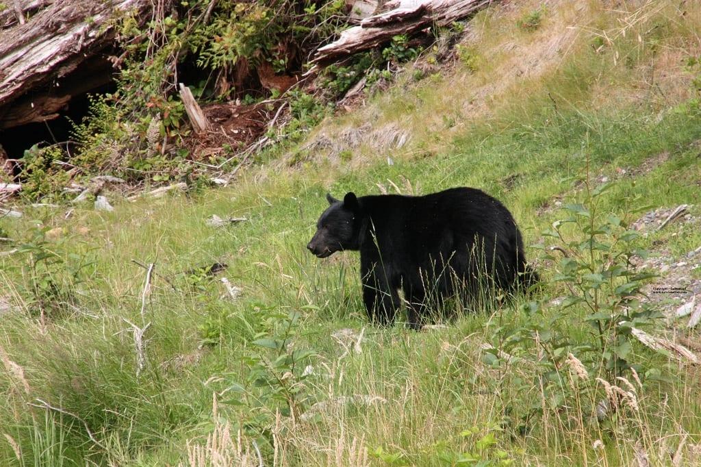 Schwarzbär Kanada Survival trip